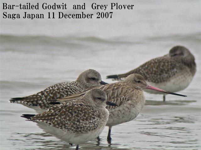 オオソリハシシギ 6 Bar-tailed Godwit / Limosa lapponica_c0071489_11144.jpg