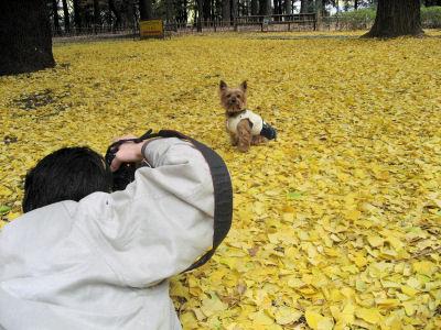 """銀杏の落ち葉が奇麗でしょう♪"""""""