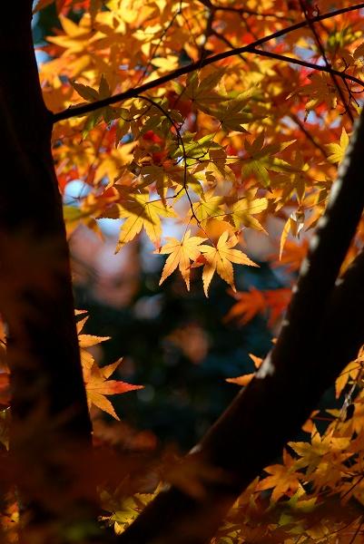 秋色いろいろ19 高幡不動尊のもみじ_c0027027_2144584.jpg