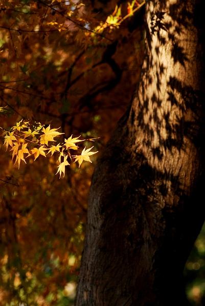 秋色いろいろ19 高幡不動尊のもみじ_c0027027_2155275.jpg