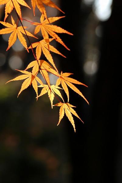 秋色いろいろ19 高幡不動尊のもみじ_c0027027_215634.jpg