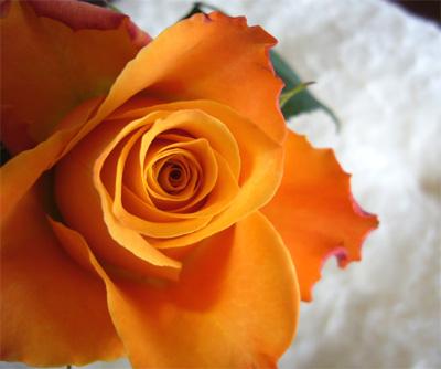 12月の薔薇---マリヨ_f0105054_2338744.jpg