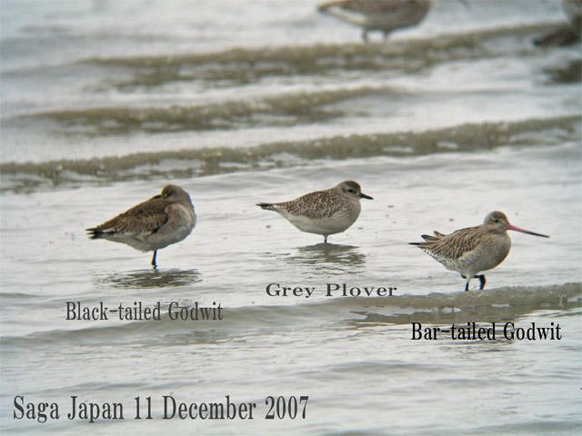 オオソリハシシギ 6 Bar-tailed Godwit / Limosa lapponica_c0071489_1626043.jpg