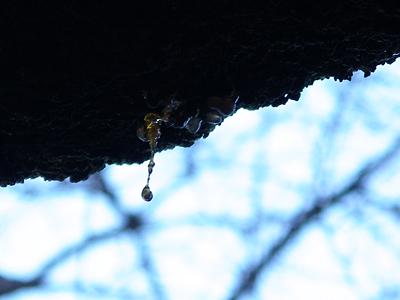 たれそうな桜の樹液_f0108133_031252.jpg