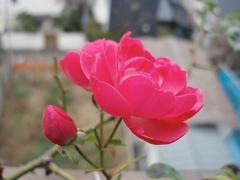 今年最後の薔薇_e0065433_0182762.jpg