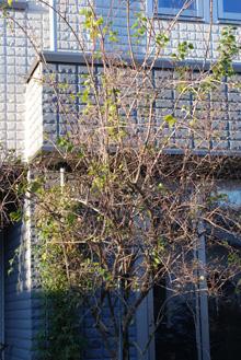 バイカウツギの画像 p1_29