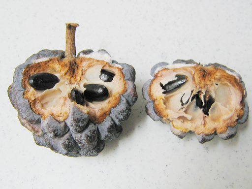 シャカトウの未熟果を追熟すると・・・, an unmature sugarapple fruit just turned black and dried out with afterripening