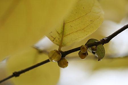 ロウバイの開花と、冬のコスモス_f0030085_15153287.jpg