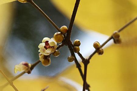ロウバイの開花と、冬のコスモス_f0030085_15154293.jpg