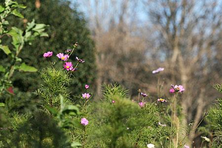 ロウバイの開花と、冬のコスモス_f0030085_15174516.jpg