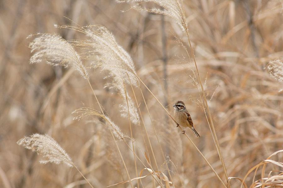 葦原に潜む鳥_c0001429_19331463.jpg