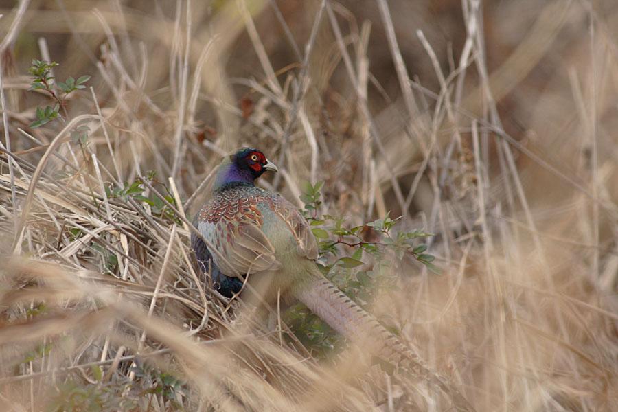 葦原に潜む鳥_c0001429_19345575.jpg