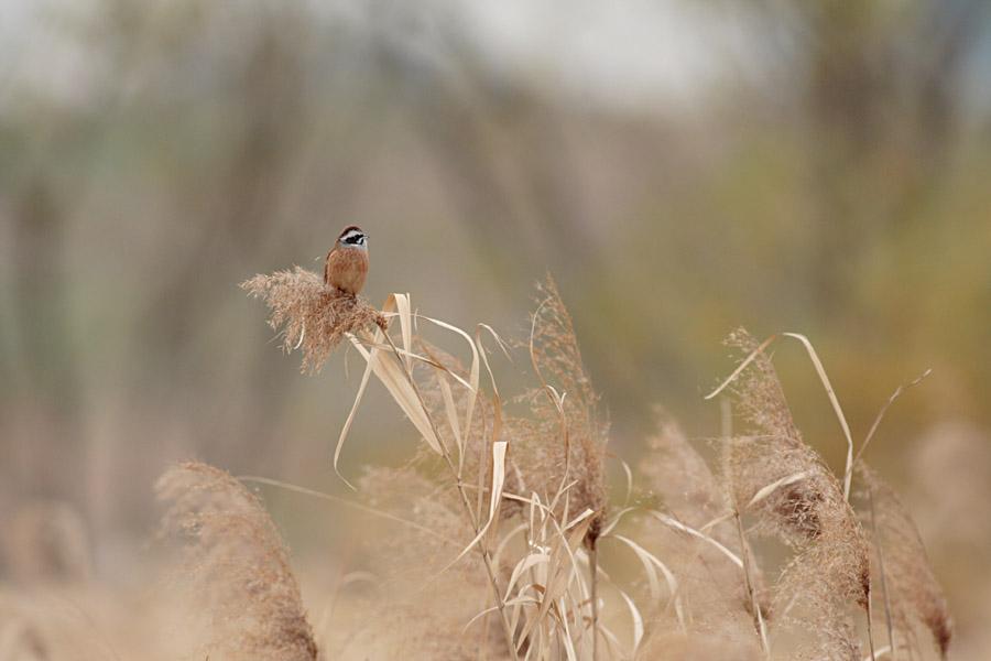 葦原に潜む鳥_c0001429_19352117.jpg