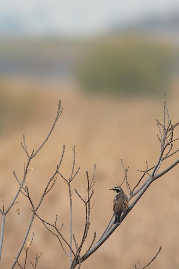葦原に潜む鳥_c0001429_19354644.jpg