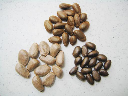 2種類のシャカトウとチェリモヤの種の比較, comparing seeds of 2 types of sugarapple and cherimoya