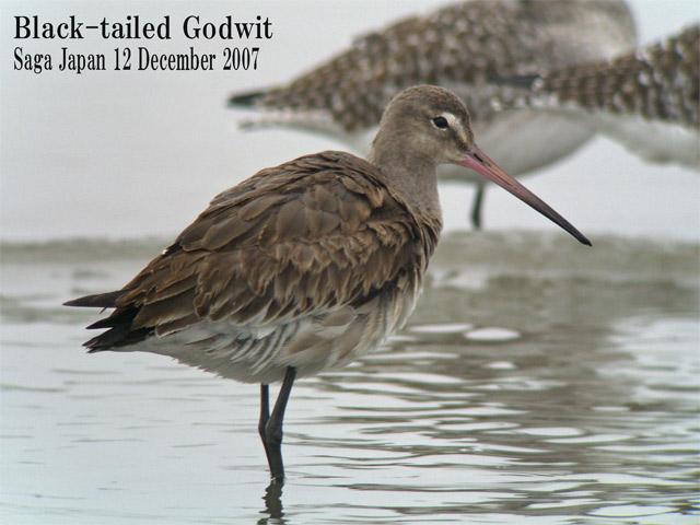 オグロシギ 5 Black-tailed Godwit / Limosa limosa_c0071489_10205444.jpg