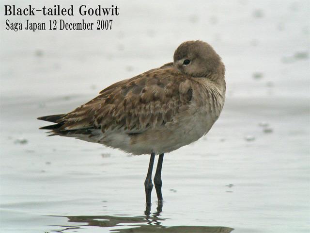 オグロシギ 5 Black-tailed Godwit / Limosa limosa_c0071489_10543627.jpg