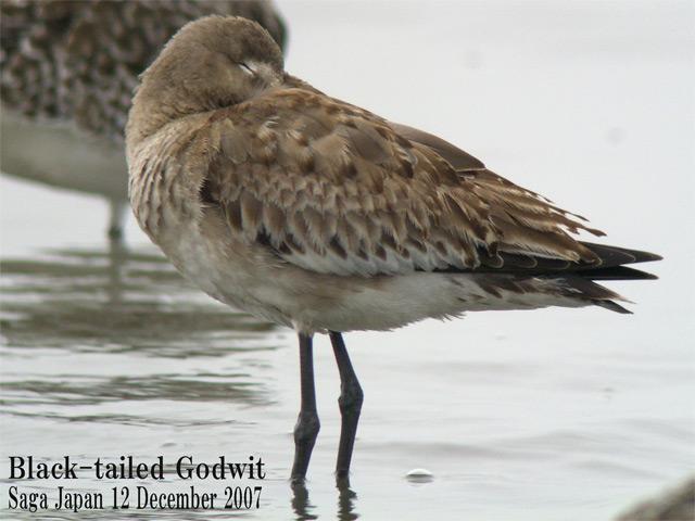 オグロシギ 5 Black-tailed Godwit / Limosa limosa_c0071489_10544581.jpg