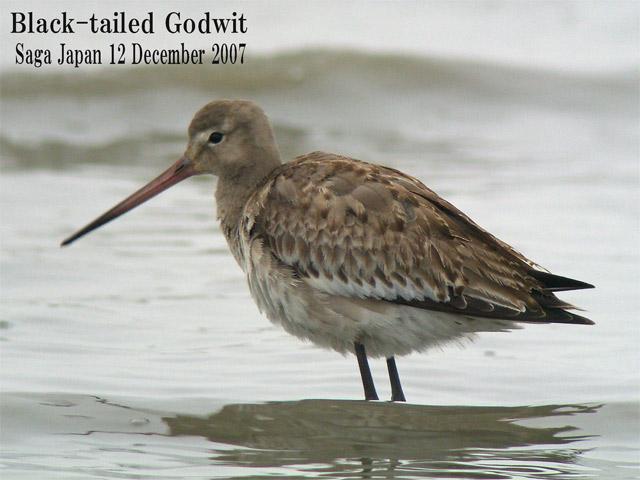 オグロシギ 5 Black-tailed Godwit / Limosa limosa_c0071489_1054932.jpg