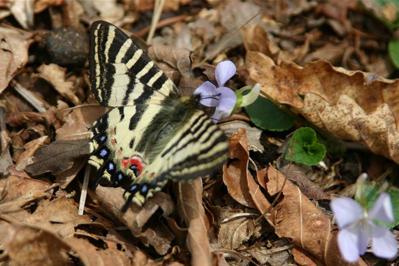 チョウ類保全シンポジウム-ギフチョウ・ヒメギフチョウ-_d0054625_16322587.jpg