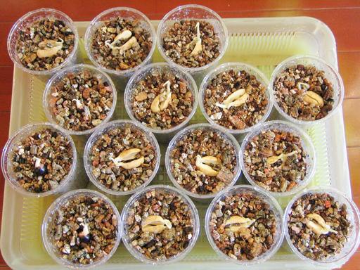 発芽したランブータンの植え替え, potting the germinated rambutans