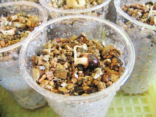 発芽したロンガンの植え替え, potting of germinated longans