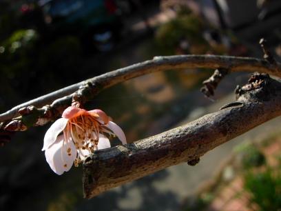 梅の開花_e0015690_11562999.jpg
