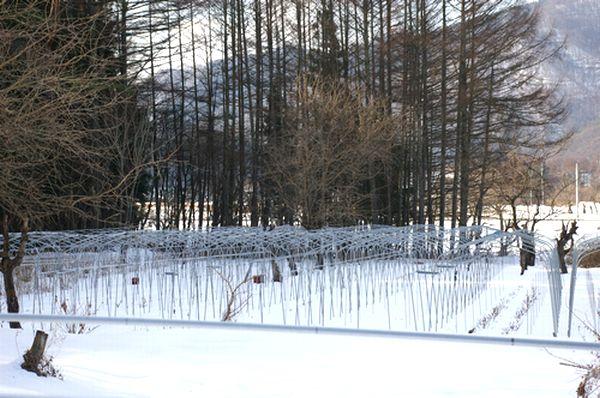***雪の中の秋色紫陽花たち***_c0127703_1283163.jpg
