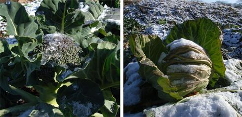 農園便り・凍てつく畑_c0063348_11144992.jpg