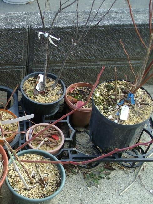 チッペワの取りと木鉢増し_f0018078_18352999.jpg