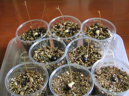 発芽したロンガン, germinated longans