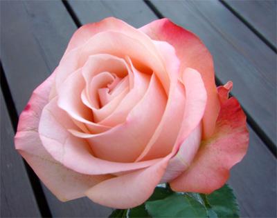 2008年1月の薔薇--- エモーション_f0105054_17255842.jpg