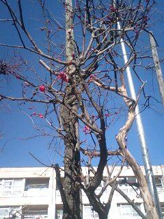 春の兆し?少し気が早いかも、梅の花♪_f0094800_14445223.jpg