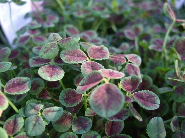 オークリーフ(紫色の花たち)_f0049672_11595749.jpg