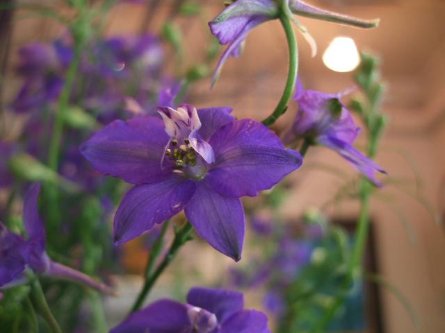 オークリーフ(紫色の花たち)_f0049672_1203948.jpg