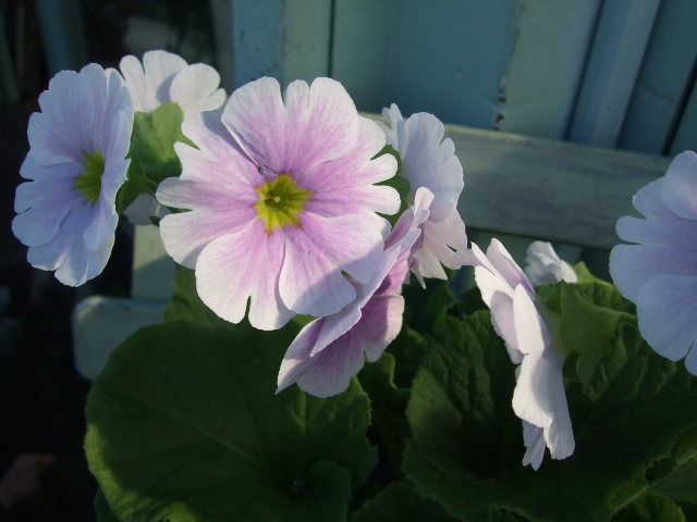オークリーフ(紫色の花たち)_f0049672_1213211.jpg
