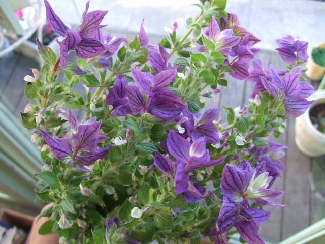 オークリーフ(紫色の花たち)_f0049672_1214463.jpg