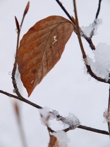 雪に映える紅葉、三態。_a0025576_22562378.jpg