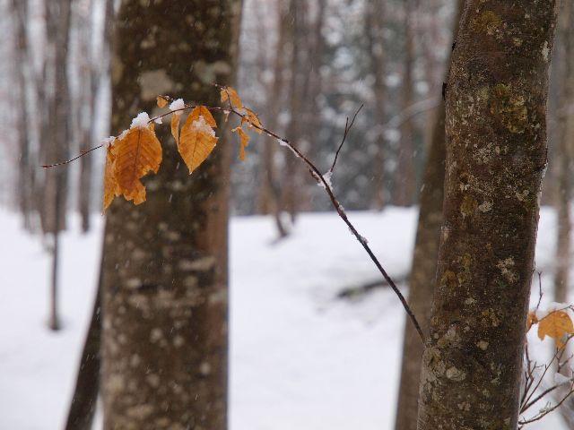 雪に映える紅葉、三態。_a0025576_22563991.jpg