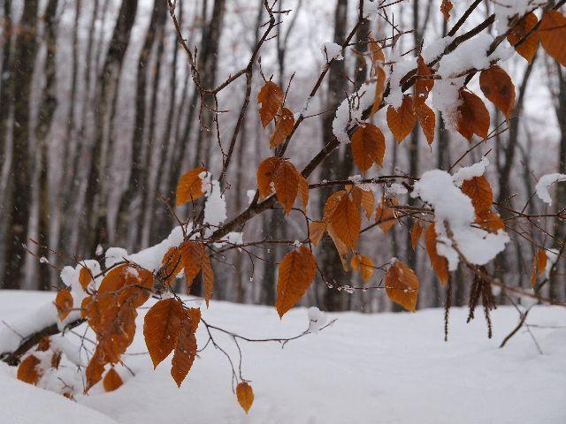 雪に映える紅葉、三態。_a0025576_22565541.jpg