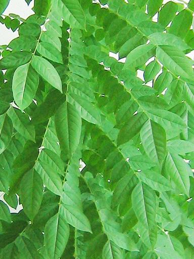 スターフルーツの葉っぱ, starfruit leaves