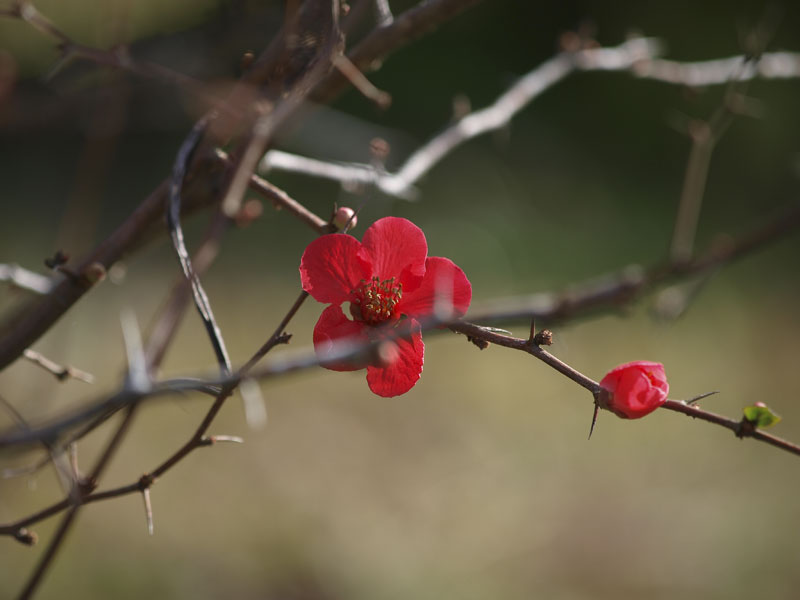 梅はまだか、、、、_d0127876_15451691.jpg