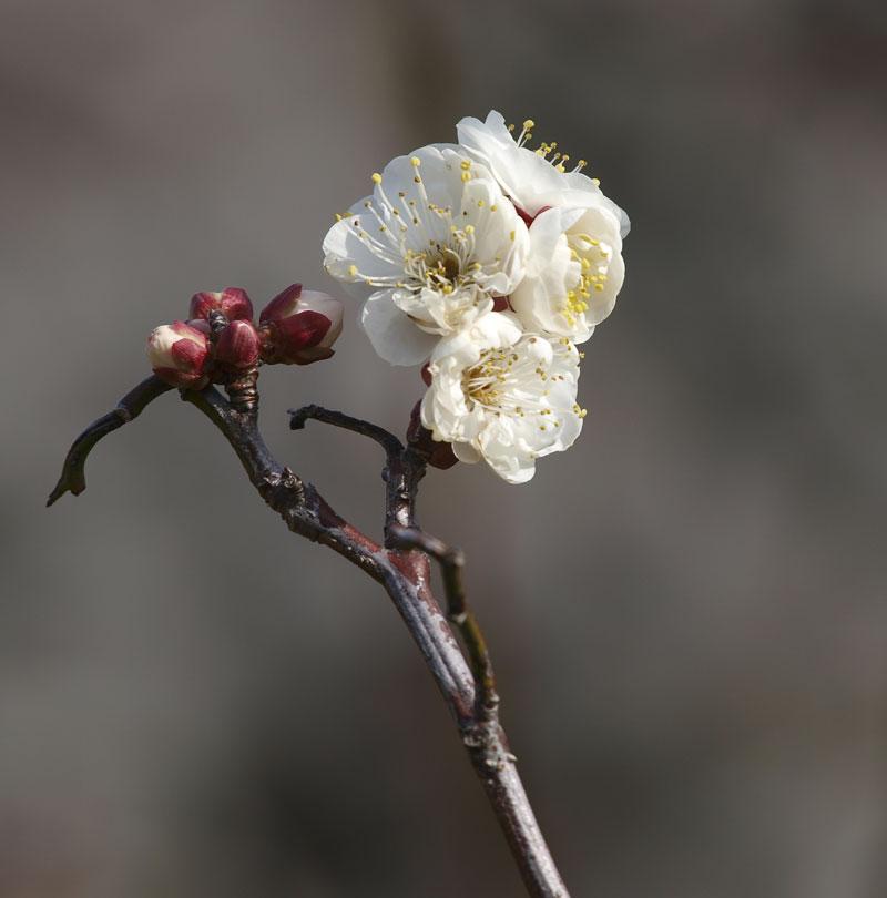 梅はまだか、、、、_d0127876_15455564.jpg