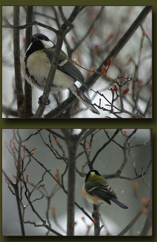 吹雪の中のシジュウカラ_b0019313_1736752.jpg