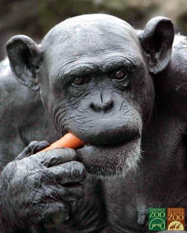★チンパンジーも少子高齢化、30年には国内絶滅の可能性_a0028694_1125192.jpg