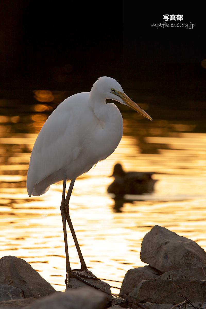 鷺<a heron> 1_f0021869_20582916.jpg