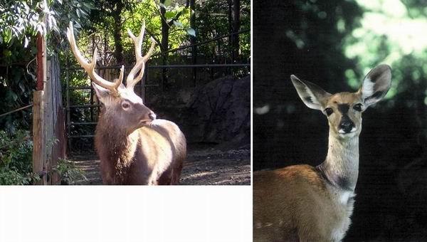 上野動物園東園のエゾシカとケニアのアンテロープ_f0045090_151039.jpg