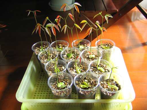 ランブータンの苗(選抜後), rambutan seedlings after selection