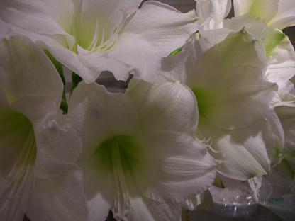 白いアマリリス_b0105897_20532751.jpg