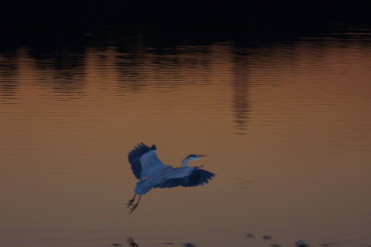 鷺<a heron> 2_f0021869_21325495.jpg